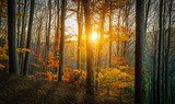 Fototapeta Sunset - Golden Sun Through Forest
