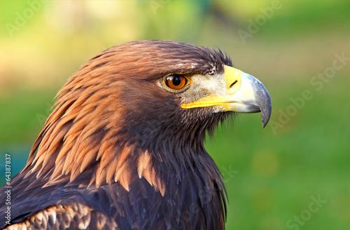 Poster Aigle Portrait of a Golden Eagle (Aquila chrysaetos)