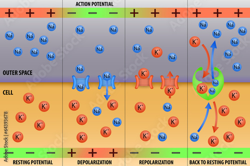 Fotografie, Obraz  Nerve impulse action potential of neuron