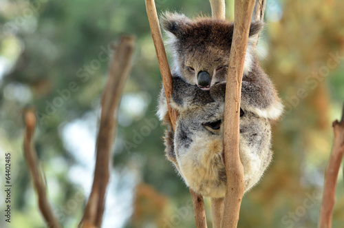 Tuinposter Koala Koala sleep on an eucalyptus tree