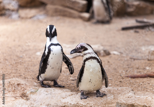Canvas Print two penguins for a walk in nature
