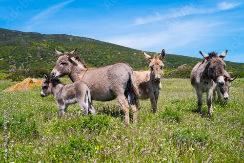 Donkeys in Asinara island in Sardinia, Italy