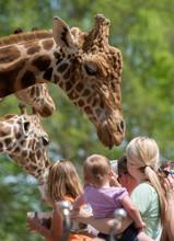 Crowd Feeding Giraffe
