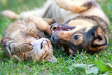 Fototapeta Zwierzęta - Dog and cat playing together outdoor.Lying on the back together.