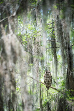Owl In Swamp