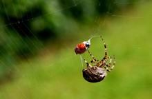 Spider Catching Ladybug