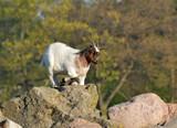 Fototapeta Zwierzęta - kózka klękająca