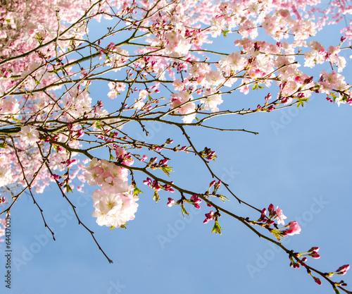 Piękne obrazy blutentraum-na-wiosne-japonskie-kwiaty-wisni