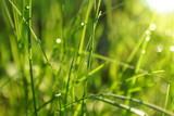 grass  dew