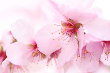 Obraz na SzkleDie zarten Blüten der Kirsche