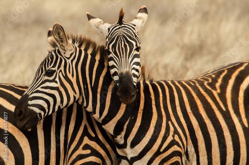 Papiers peints Zebra Abbraccio tra zebre