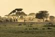 canvas print picture - Silhouette di giraffe