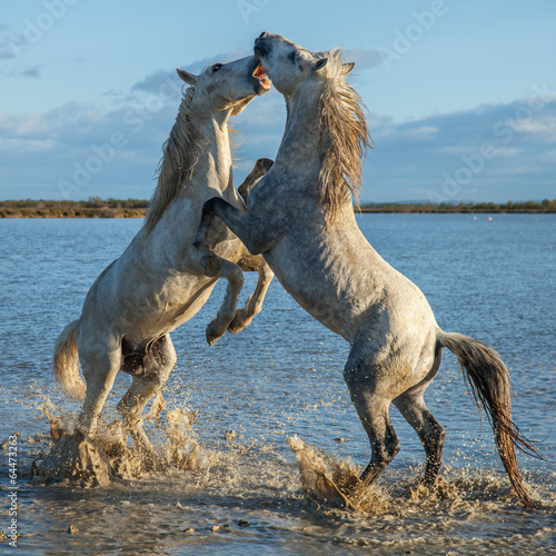 Photo  fighting stallions