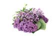 lila Fliederblüten