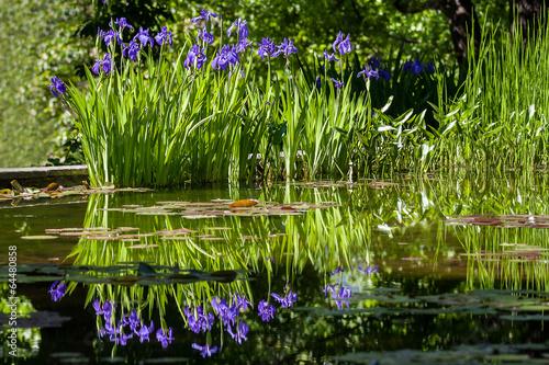 Poster Iris purple iris flowers