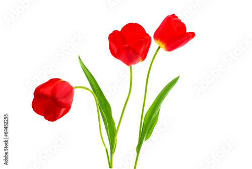 Canvas Prints Poppy red tulips isolated