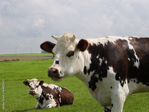 Cadres-photo bureau Vache vaches normandes