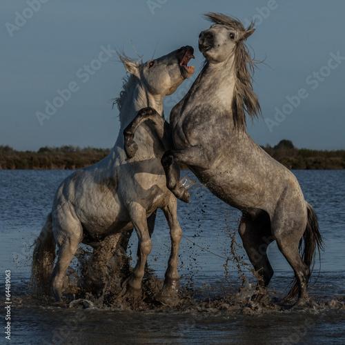 Fényképezés  fighting stallions