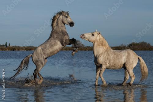 Vászonkép  fighting stallions