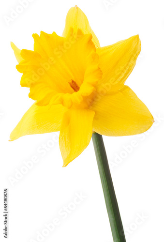 Garden Poster Narcissus Daffodil flower or narcissus isolated on white background cutout