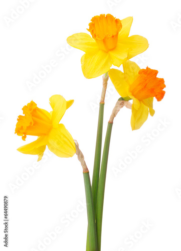 Recess Fitting Narcissus Daffodil flower or narcissus bouquet isolated on white backgro