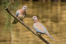 Laughing Dove (Stretopelia Sen...