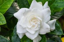 White Gardenia Flower With Shi...