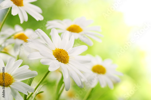 Foto op Canvas Madeliefjes Field of daisy flowers