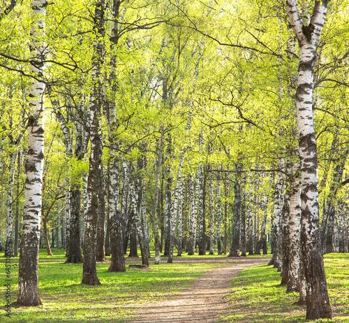 Piękne obrazy wieczor-pogodny-wiosny-brzozy-park-z-pierwszy-zieleniami
