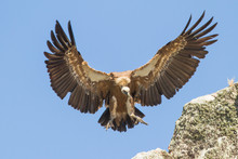 Beautiful Close-up Landing Griffon Vulture