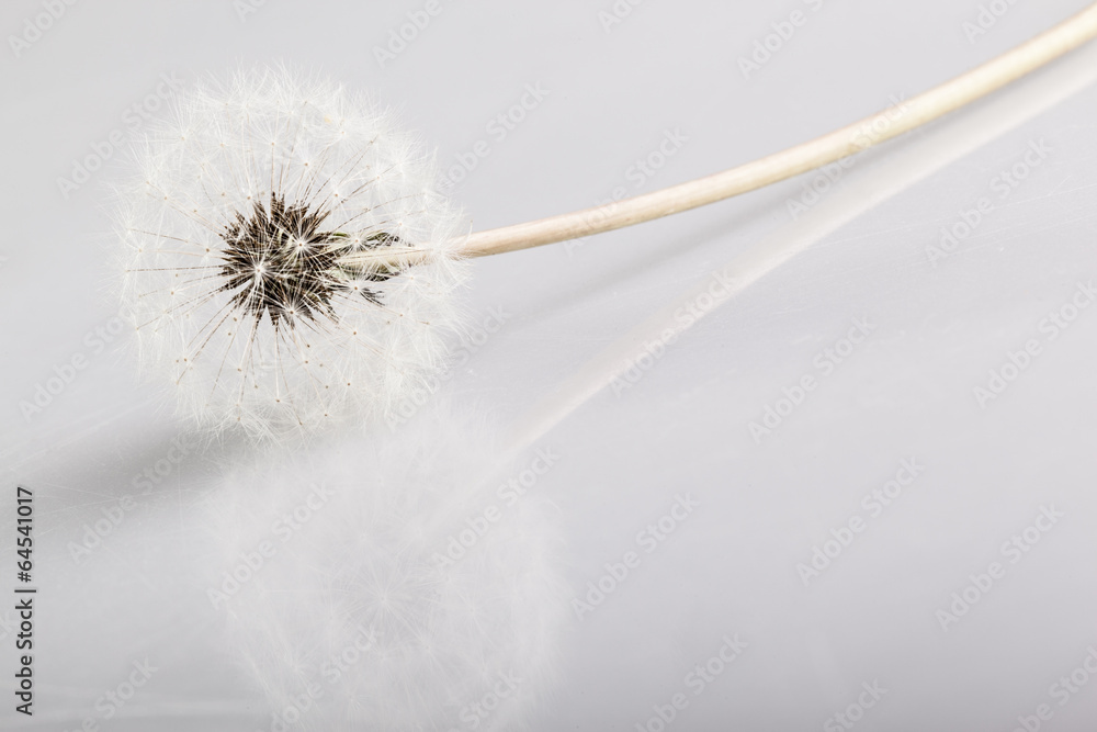 Fototapety, obrazy: Dandelion reflection
