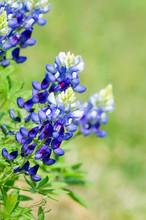 Texas Bluebonnets (Lupinus Tex...