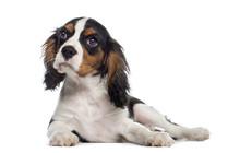 Cavalier King Charles Spaniel Puppy Lying Down (19 Weeks Old)