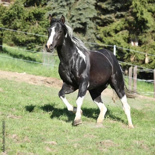 fototapeta na lodówkę Niesamowity ogier koń z długim farba grzywą