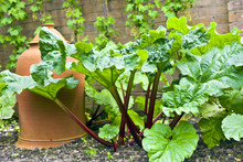 Rhubarb Plant And A Terracotta...