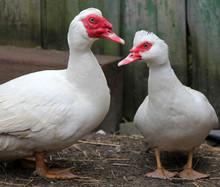 Muscovy Ducks (Cairina Moschata) In The Farmyard