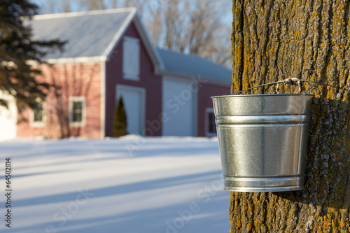 Fotografie, Obraz  Maple Syrup Tapping