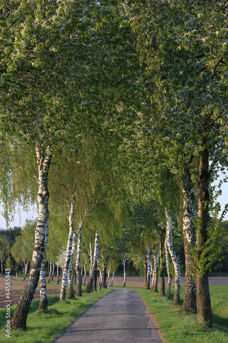 Piękne obrazy aleja-brzozy-wiosna-iv