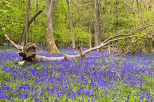 Bluebells Flowers In Spring Fo...