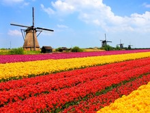 Vibrant Tulips Fields With Windmills, Netherlands