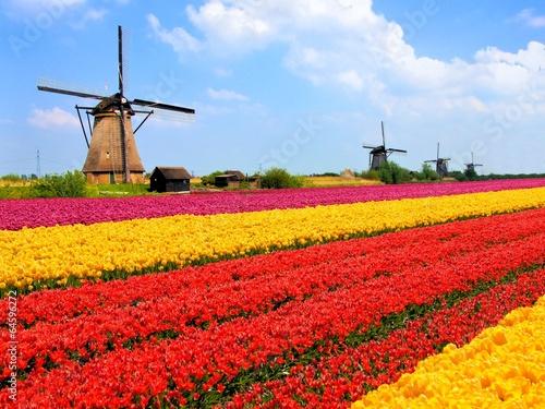 Plakat Wibrujący tulipanów pola z wiatraczkami, holandie
