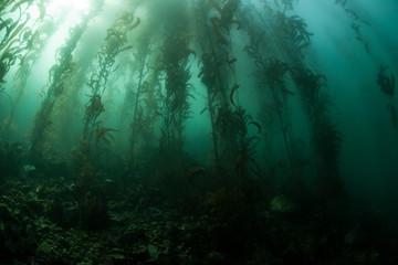 Obraz na Szkle Woda Krople Giant Kelp 2