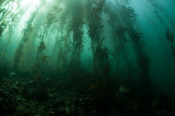 Panel Szklany Giant Kelp 2