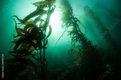 Fotobehang Koraalriffen Giant Kelp 1