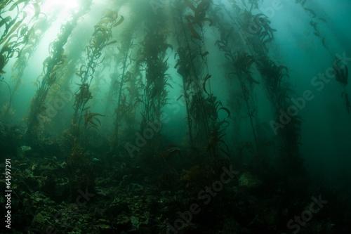 Giant Kelp 2 - 64597291