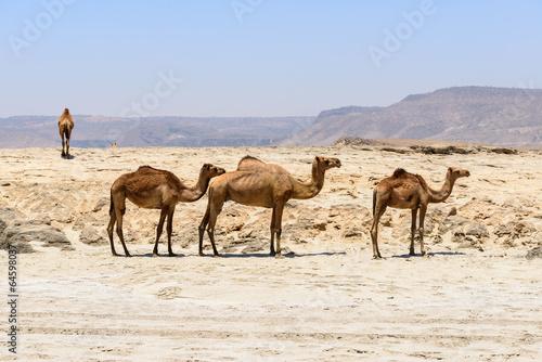 Spoed Foto op Canvas Dromedaries on the beach, Taqah (Oman)