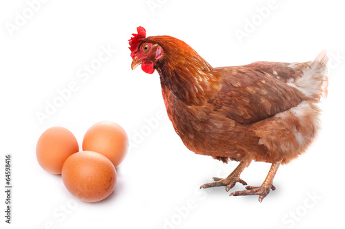 Papiers peints Poules live chicken bird redhead looks at three eggs isolated on white