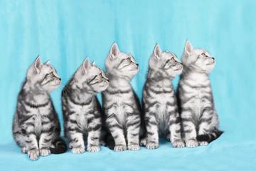 Fototapeta na wymiar Fünf Britisch Kurzhaar Katzen  blicken seitlich hoch
