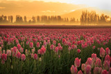 Pink tulips with orange sunrise and mist in background