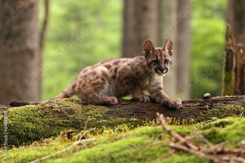 Poster Puma Puma concolor, cub, mountain lion